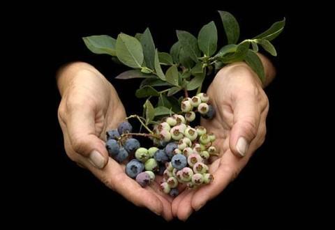 Blueberries ©Penny Kaela Bauer